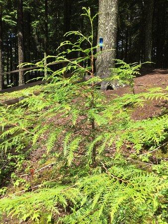 Prince George, Kanada: Cedar trees: love this snow belt area!