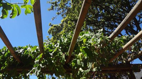 Centrala Kapstaden, Sydafrika: Grape vines trailing the pergola