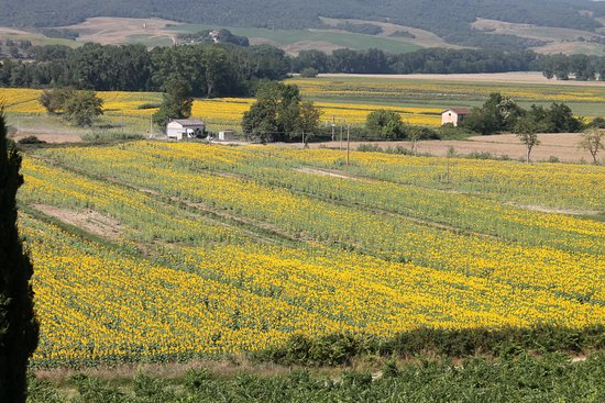 Buonconvento, Italy: Sunflower Field