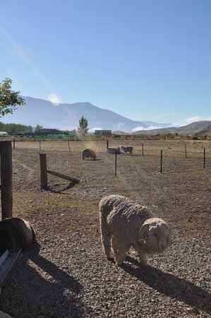 Omarama, Nowa Zelandia: Sheep paddocks adjacent to the venue
