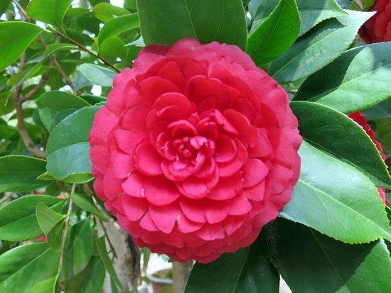 Jindian Park : perfect camellias