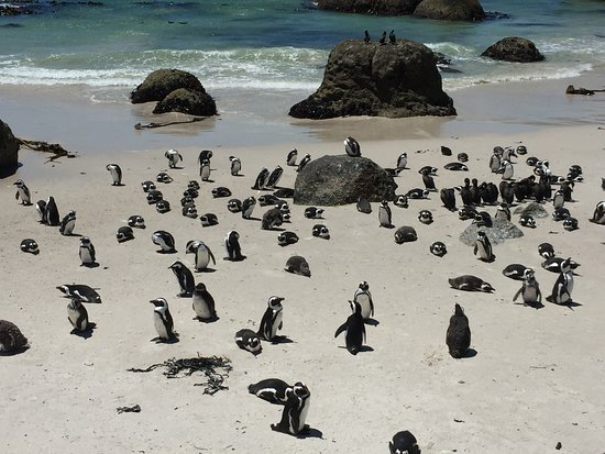 Kenilworth, แอฟริกาใต้: Penguins everywhere - on Boulders Beach.