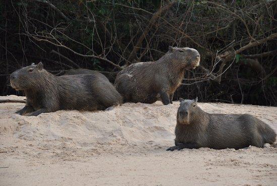 Gasparetour Pantanal Tours: Capybara family by Gasparetour