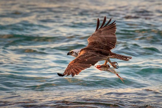 Off The Wall Dive Center & Resort: Spectacular birding and wildlife on our island, inlcluding nesting Ospreys