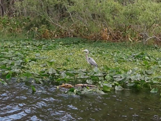 De Land, FL: Great Blue Heron