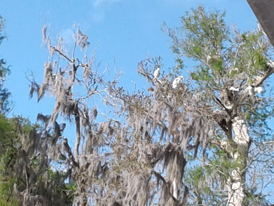 De Land, FL: Egrets in nests