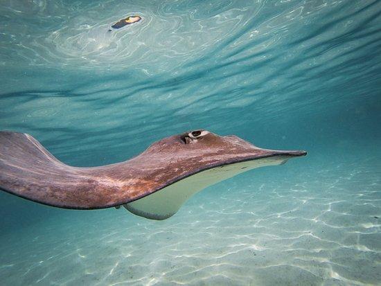 Moorea, Polinesia Francesa: Swimming with the stingrays