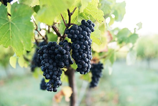 Canterbury Region, Nueva Zelanda: North Canterbury Wineries