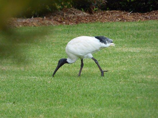 Arthur Phillip Motor Inn: Australian White Ibis