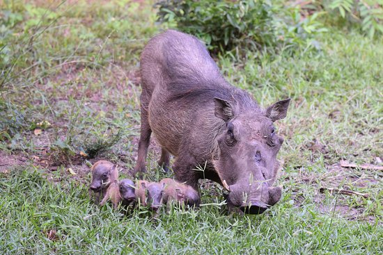‪ماكاكاتانا باي لودج: A mother Warthog taking her babies out for a walk for the first time. ‬