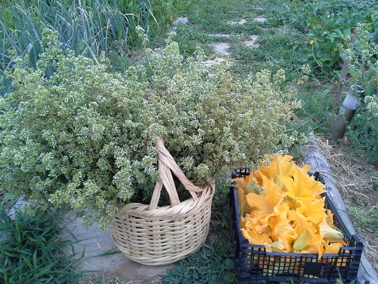 Amanita: cultivation