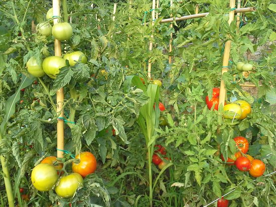 Amanita: tomatoes cultivation