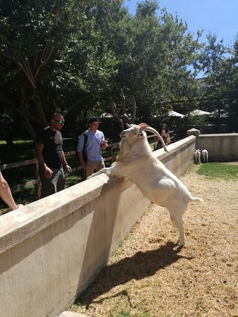 Go Cape Tours: The ol goat..