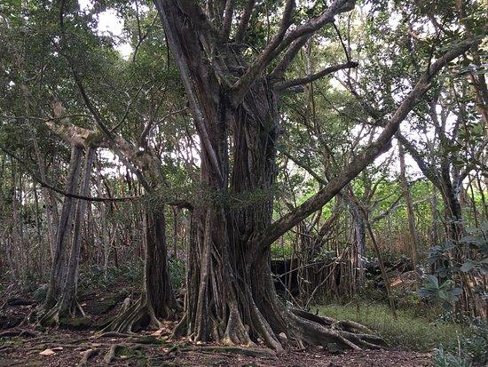 Keaau, HI: My first hike in Hawaii and I intend to return before I leave. The trail is an easy 2.6 mile wal