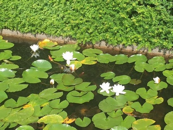 Renishaw, UK: Lily pond - there were koi in the water!
