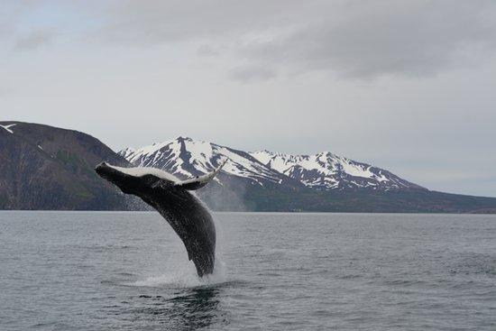 Gentle Giants Whale Watching: Baleine à bosses à Husavic
