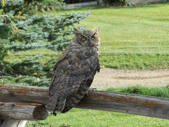 Dubois, WY: Great Horned Owl Discovery Speakers program