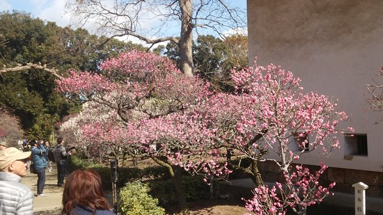 Fujiidera, Japan: 梅園4
