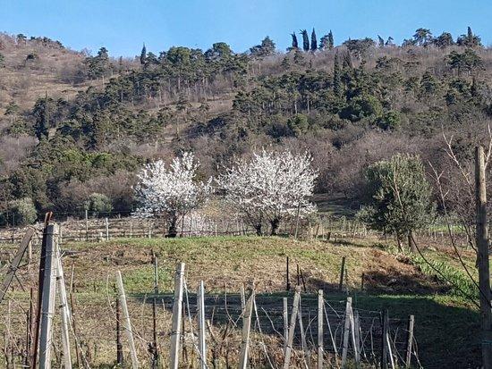 Cologne, Italië: Pendici meridionali del Monte Orfano con Mandorli in fiore
