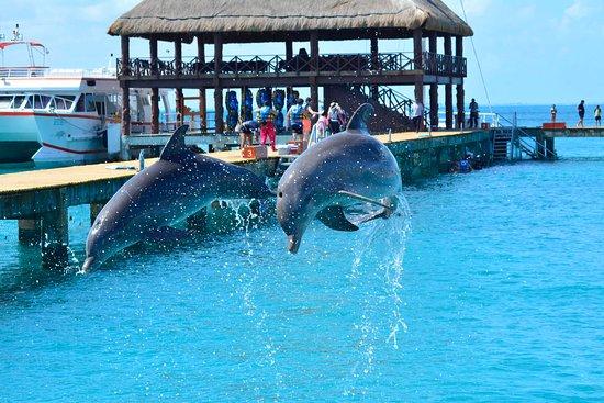 Isla Mujeres Mexico Dolphin Swimming