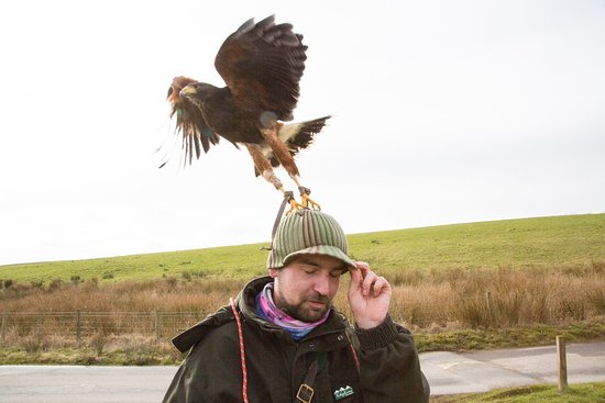 Coniston Cold, UK: Harris Hawk lifting off Falconers head!