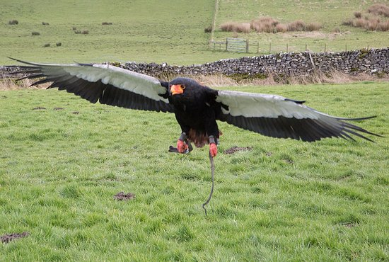 Coniston Cold, UK: Bateleur Eagle coming in to land