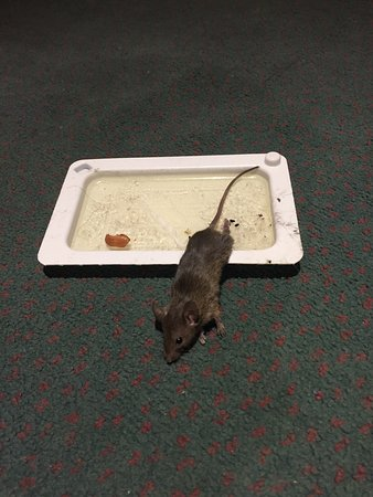 Grand Regal Hotel: I found this rat in my room- #711. The staff knows about the rat problem hence the trap. I immed