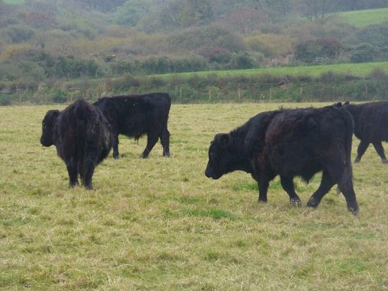 Roch, UK: Welsh Black Cattle in the field next door