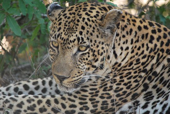 Londolozi Pioneer Camp: Lounging in the shade on a hot day
