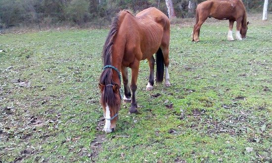 Megalong Valley, Australia: horse used for trail rides