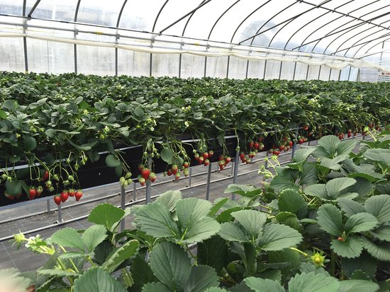 Kafuka Strawberry Farm