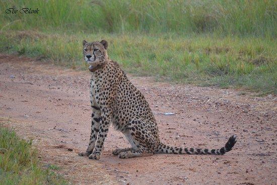 Badplaas, Sør-Afrika: Cheetah sighting
