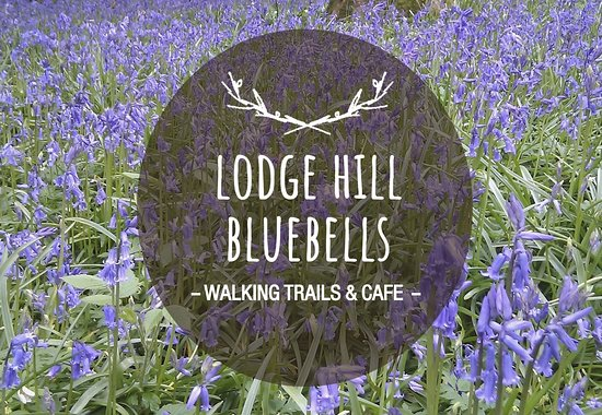 ‪Lodge Hill Bluebells‬