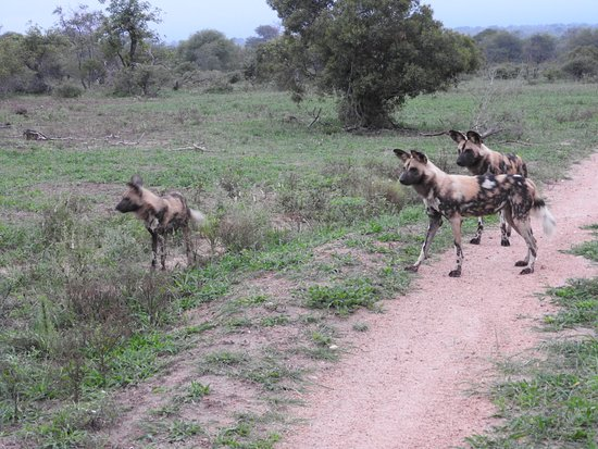 Timbavati Private Nature Reserve, Sudáfrica: We were fortunate to see the wild dogs!