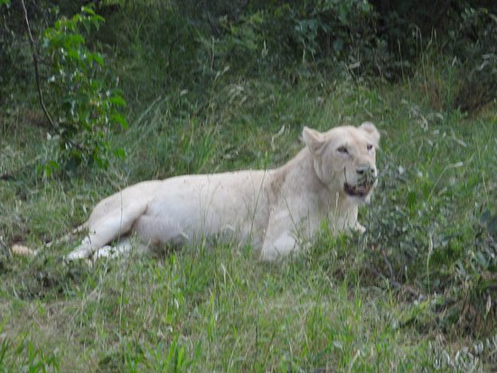 Timbavati Private Nature Reserve, Sudáfrica: The only remaining white lion--she is gorgeous!