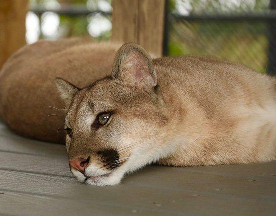 Panther Ridge Conservation Center: Cougar, Meeka. 9 Months old