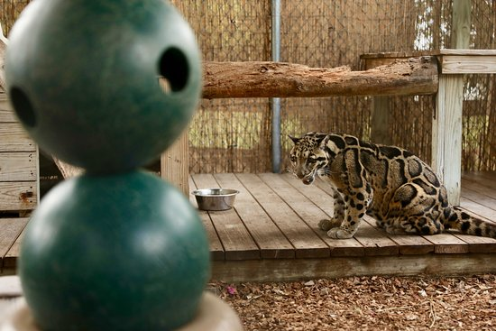 Panther Ridge Conservation Center: Cloudy leopard, Ming Too.