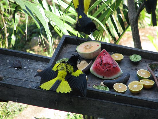 Birding San Pancho : Yellow-winged Cacique at fruit feeder (Vallarta Botanical Gardens)