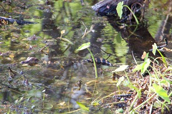 Kissimmee, FL: Baby Gator