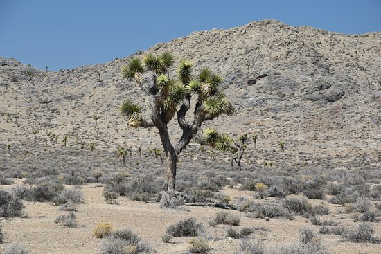 Image result for joshua trees in death valley