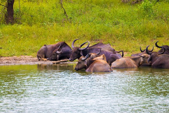 Lanka Tracker - Day Tours: Bathing Buffalo
