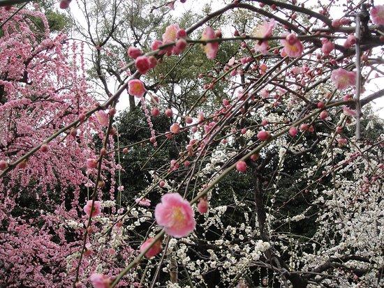 Jonangu Shrine: 神苑のしだれ梅