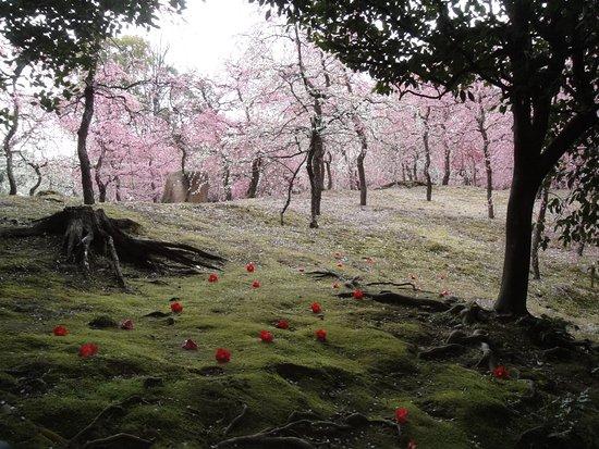 Jonangu Shrine: 苔むす上に落ちた椿の花と奥に広がる梅林