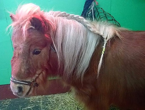 Meols, UK: Monty our Miniature Shetland pony inn the pamper stable
