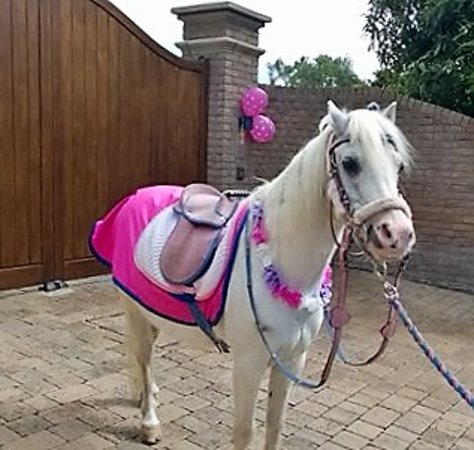 Meols, UK: Dandy, Our Section A pony, all in the pink !