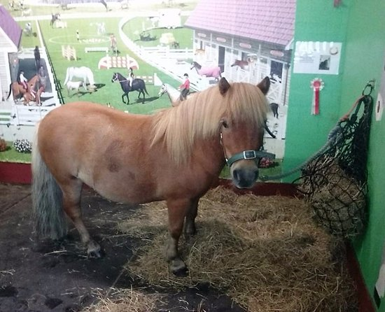 Meols, UK: Storm, our Standard Shetland pony, ready for brushing !
