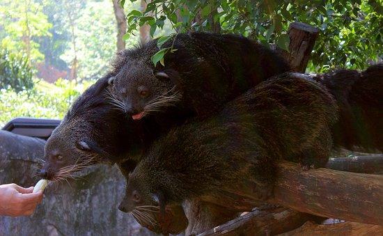Khao Kheow Open Zoo: бинтуронги