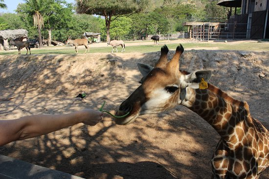 Khao Kheow Open Zoo: кормим жирафа