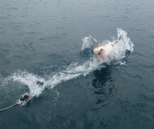 White Shark Africa: Here it comes!!