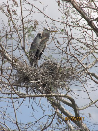 Gator Bait Airboat Adventures: Osprey mom and nest